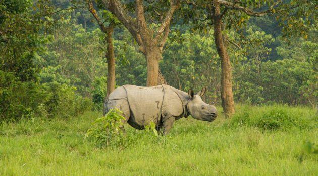 Chitwan Nepal white rhino