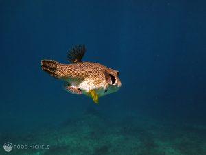 pufferfish_boxfish
