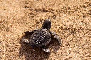 baby_sea_turtle_indonesia