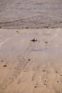 baby_turtle_release_bali
