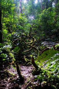 Cameron Highlands_jungle_trail (2)