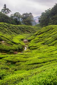 Cameron Highlands_tea_plantation_creek