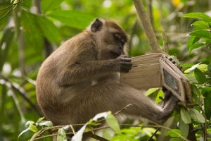 Macaque_monkey_stole_wallet