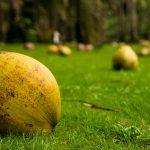 Koh Kood is een tropisch eiland van Thailand vol met kokosnoten. Hier liggen er honderden op de grond.