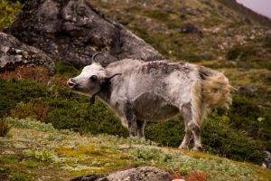 Everest Basecamp trek Nepal wild yak