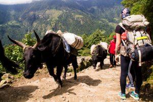 Yak on Everest Basecamp trek Nepal