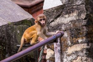 monkey temple kathmandu nepal (2)