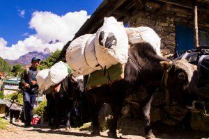 transport by yak on Everest Basecamp trek Nepal