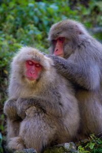 Japanese alps jigokudani yaen koen snow monkeys
