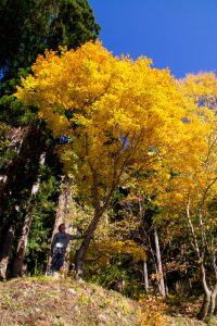 Japanese Alps autumn yellow tree