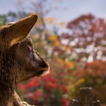 Nara Japan male deer autumn