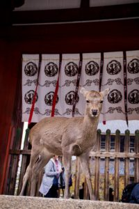 Nara Japan young deer at temple