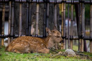 Nara Japan young deer lying down
