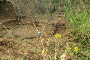Chitwan Nepal kingfisher ijsvogel