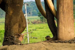 Chitwan Nepal elephant in captivity