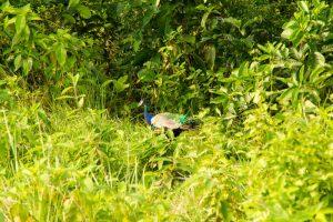 Chitwan Nepal peacock